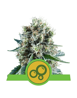 Auto Bubble Kush Royal Queen Seeds 10ud