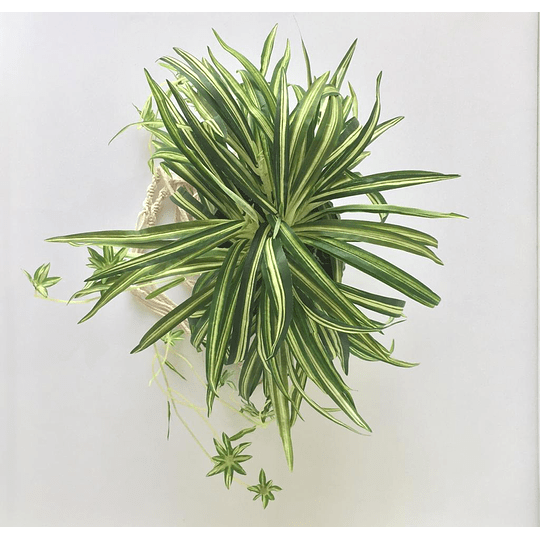 Maceta planta colgante