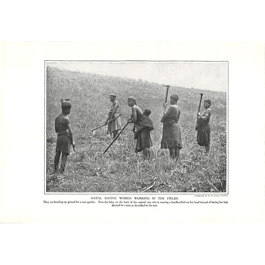 1910 Natal Native Women Working In The Fields
