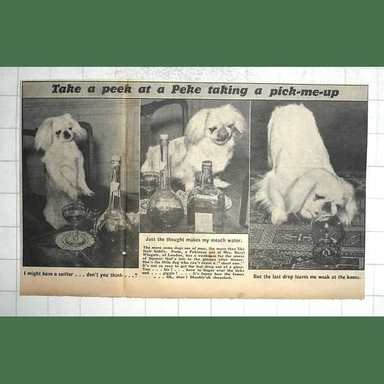 1950 Susie, Pekinese Pet Of Mrs Beryl Wingate London, Weakness For Liquer