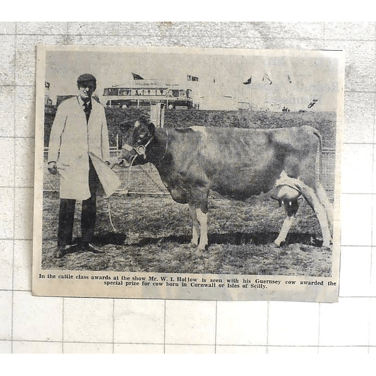 1974 Mr Wi Hollow With Guernsey Cow Prizewinner, Cornwall Born