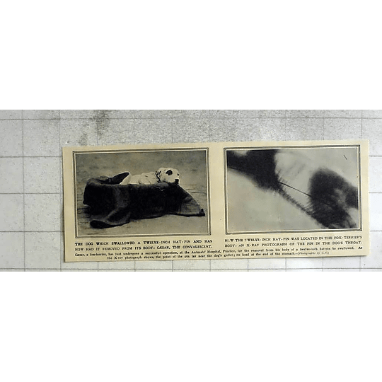 1911 Fox Terrier Swallows 12 Inch Hatpin, Pimlico Hospital