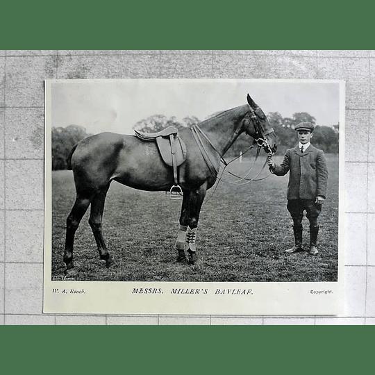 1905 Lovely Horse, Messieurs Miller's Bayleaf
