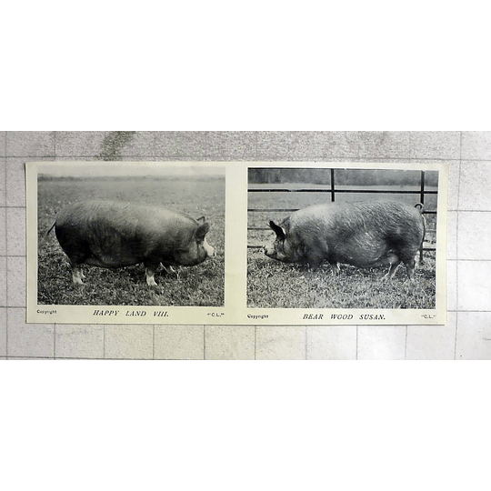 1905 Superb Pigs, Happy Land The Eighth, Bear Wood Susan