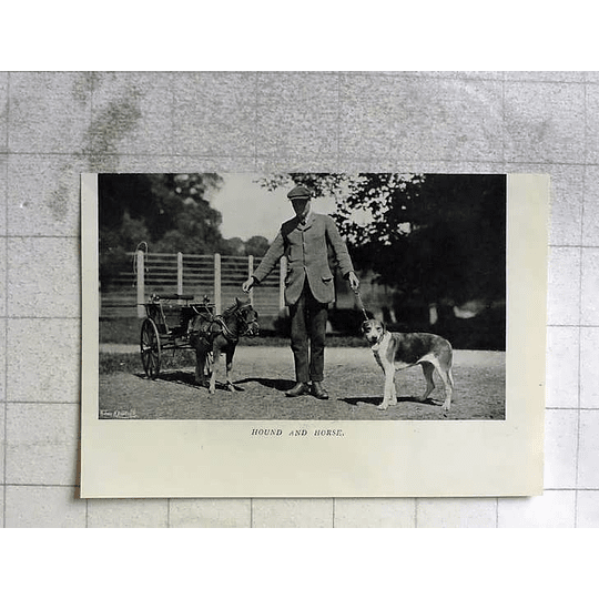 1909 H Penfold, Smallest Horse Broken To Harness In The World