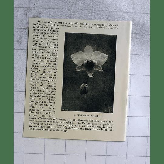 1898 Beautiful Hybrid Orchid Bloomed By Hugh Low Bush Hill Nursery Enfield