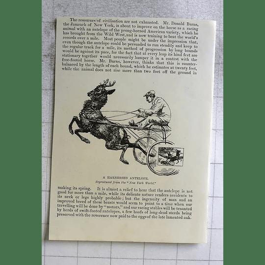 1898 Donald Burns Harnessed Antelope