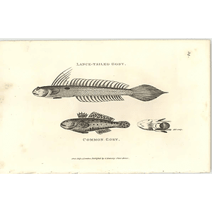 1803 Common And Lance Tailed Goby Shaw Engraving