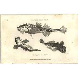 1803 River And Mailed Bullhead Shaw Engraving
