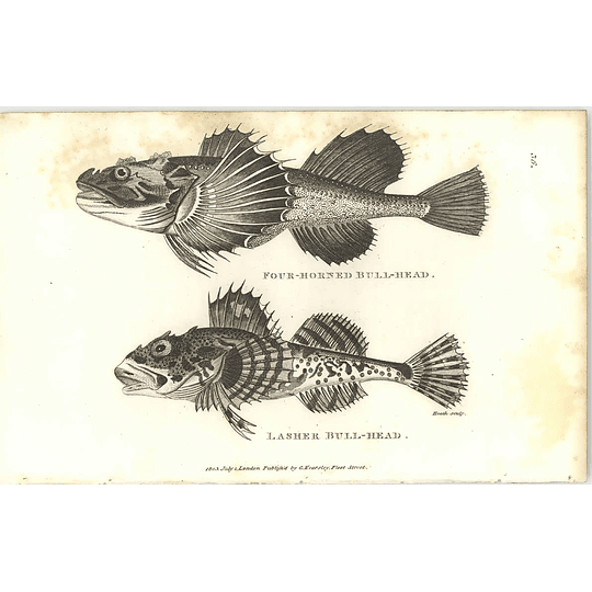 1803 Lasher And Four Horned Bullhead Shaw Engraving