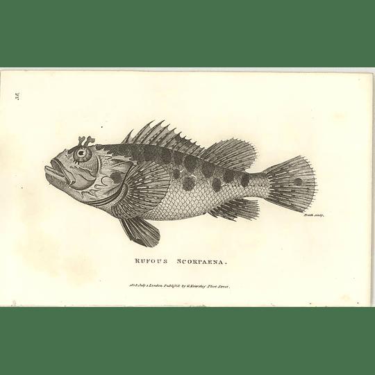 1803 Rufous Scorpaena Shaw Engraving