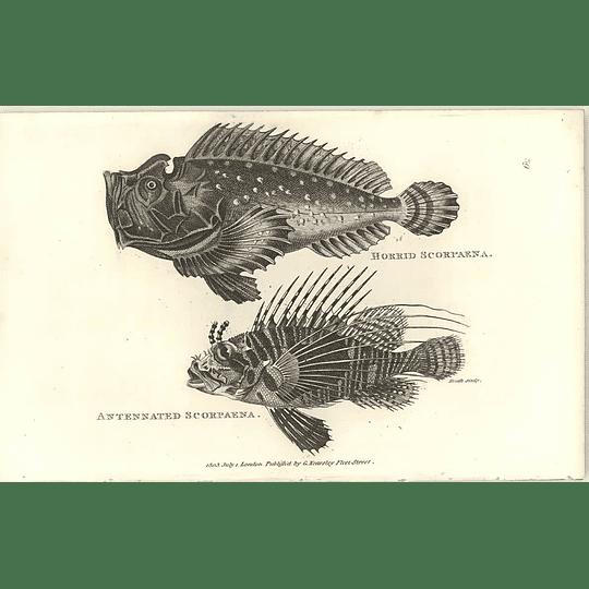 1803 Horrid And Antennated Scorpaena Shaw Engraving