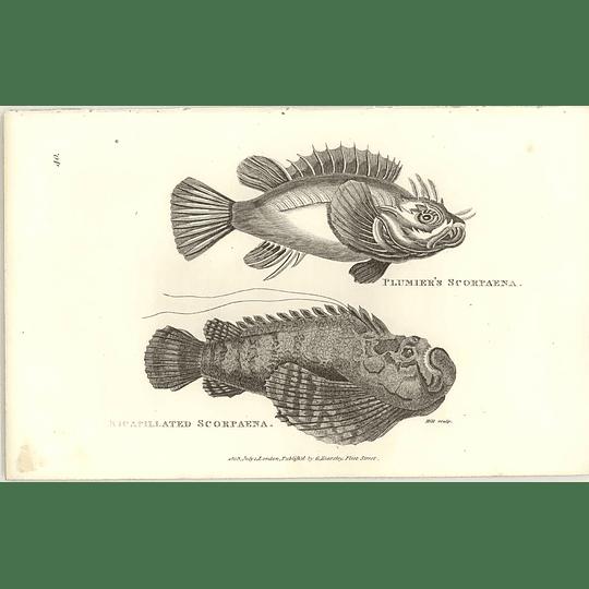 1803 Plumiars Scorpaena Shaw Engraving