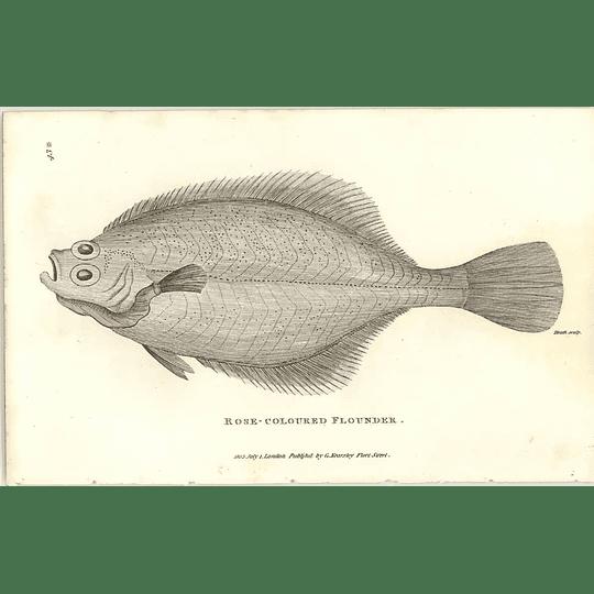 1803 Rose Coloured Flounder Shaw Engraving