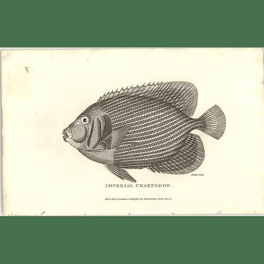 1803 Imperial Chaetodon Shaw Engraving