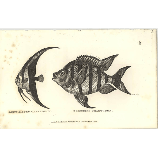 1803 Long Finned And Bordered Chaetodon Shaw Engraving