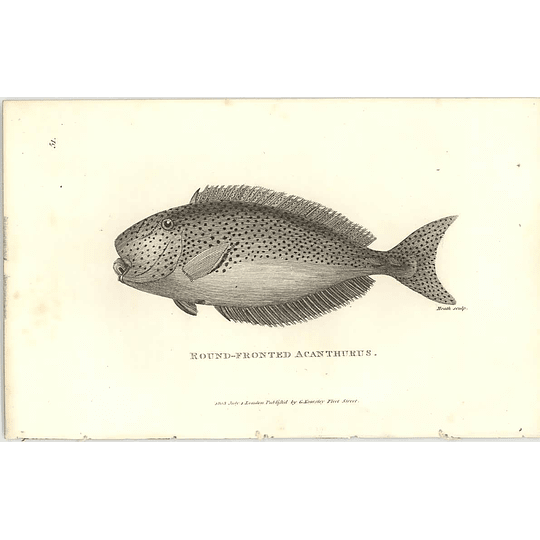 1803 Round Fronted Acanthurus Shaw Engraving