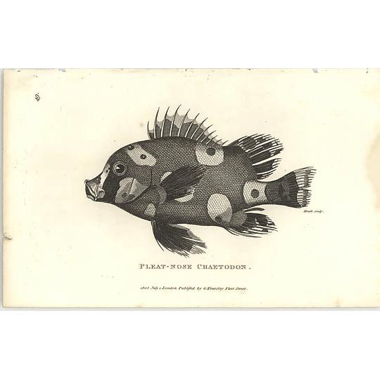 1803 Pleat Nose Chaetodon Shaw Engraving