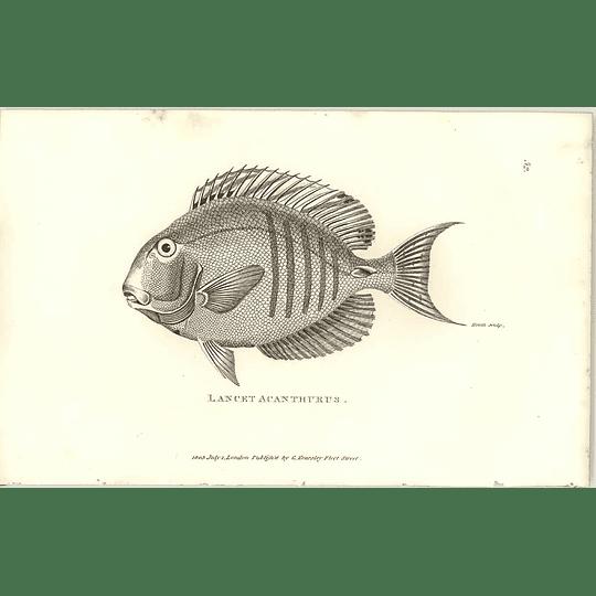 1803 Lancet Acanthurus Shaw Engraving