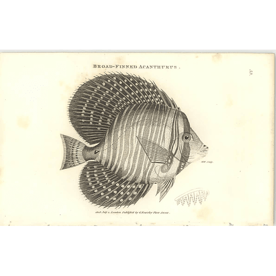 1803 Broad Finned Acanthurus Shaw Engraving