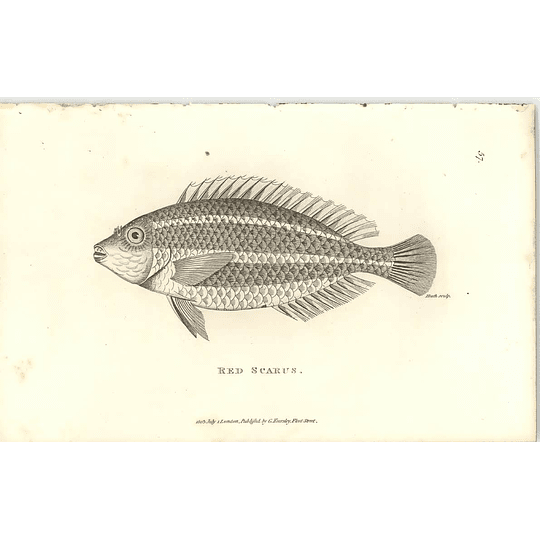 1803 Red Scarus Shaw Engraving