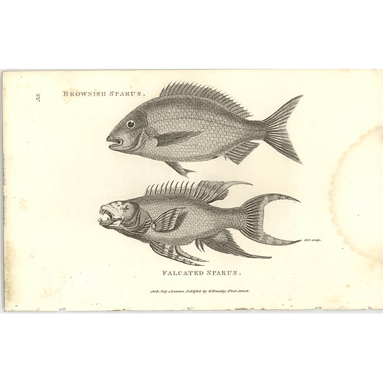 1803 Brownish Sparus Shaw Engraving