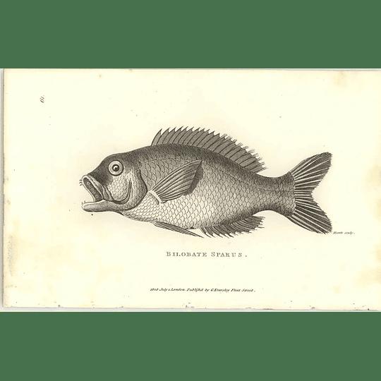 1803 Bilobate Sparus Shaw Engraving