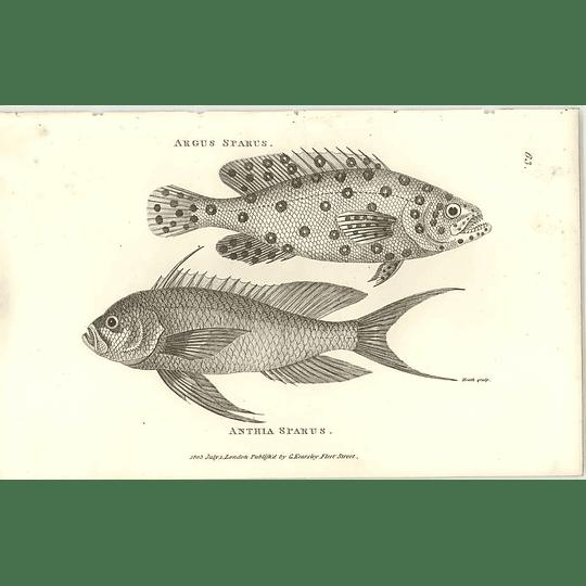 1803 Anthia Sparus Shaw Engraving