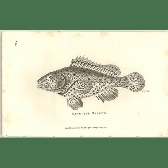 1803 Sanguine Sparus Shaw Engraving