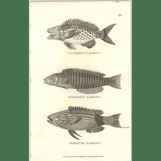 1803 Hirsute Labrus Shaw Engraving