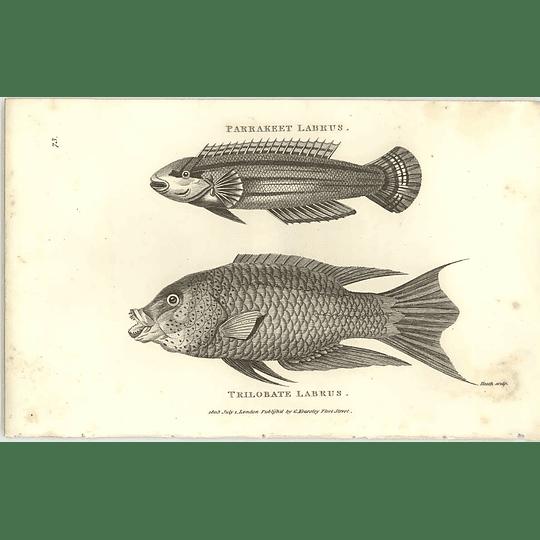 1803 Parakeet And Trilobate Labrus Shaw Engraving