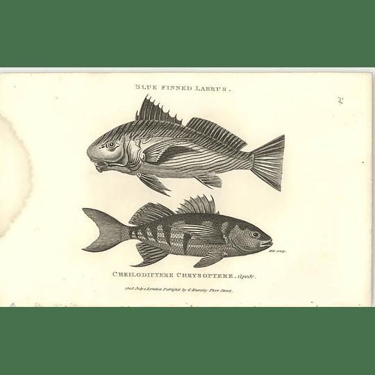 1803 Blue Finned Labrus Shaw Engraving