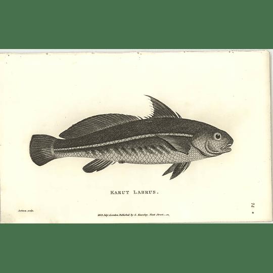 1803 Karut Labrus Shaw Engraving