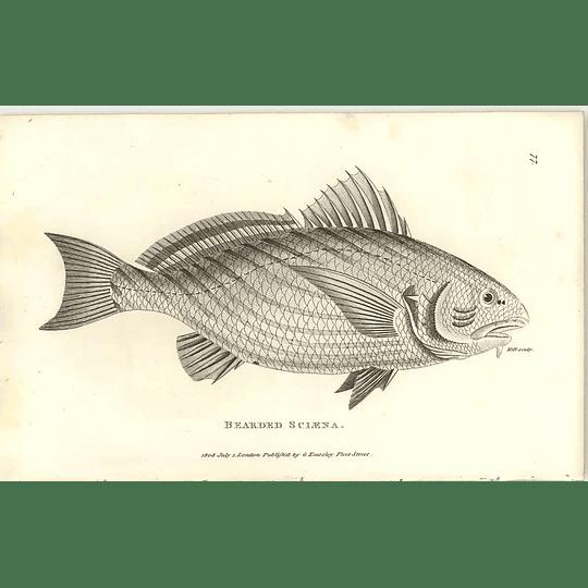 1803 Bearded Sclaena Shaw Engraving