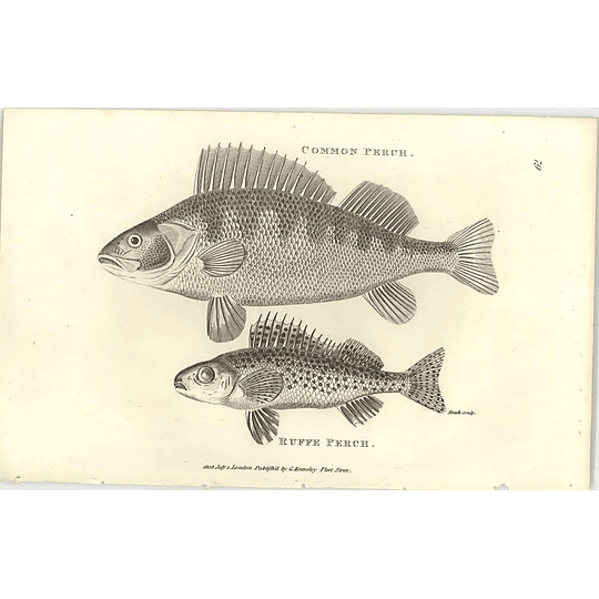 1803 Common And Ruff Perch Shaw Engraving
