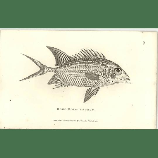 1803 Sogo Holocentrus Shaw Engraving