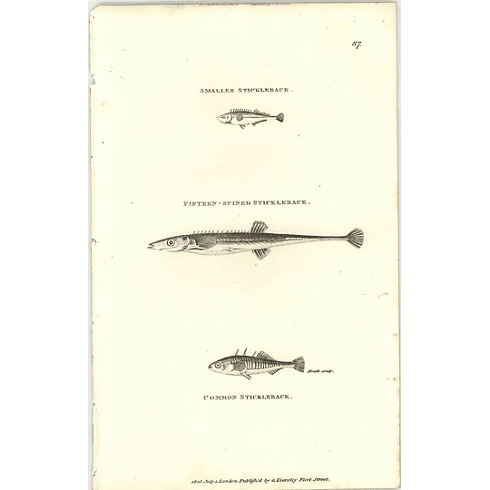 1803 Smaller Common And 15 Spined Stickleback Shaw Engraving