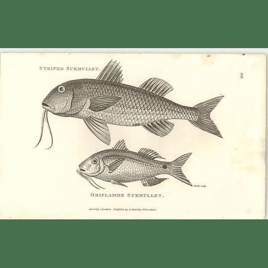 1803 Striped Surmullet Oriflamme Shaw Engraving