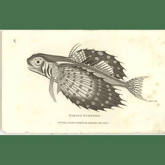 1803 Flying Gurnard Shaw Engraving