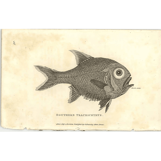 1803 Southern Trachichthys Shaw Engraving