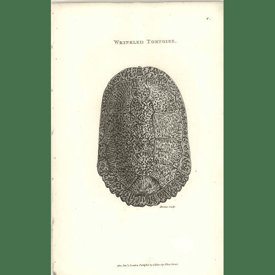 1802 Wrinkled Tortoise Shaw Amphibia Print