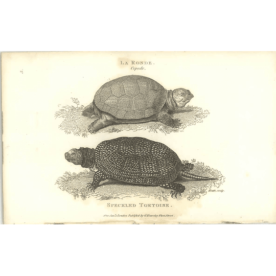 1802 Speckled Tortoise And La Ronde Shaw Amphibia Print