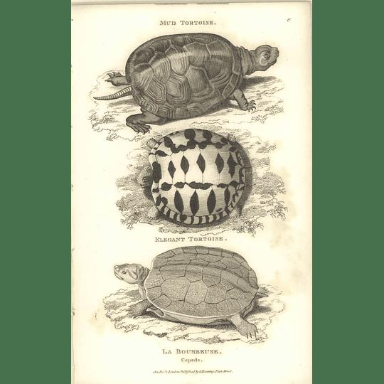1802 Mud Tortoise And Elegant Tortoise, La Bourbeuse Shaw Amphibia Print