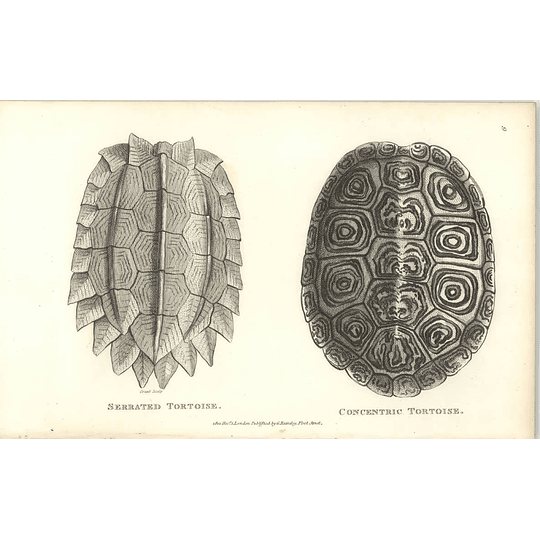 1802 Serrated Tortoise And Concentric Tortoise Shaw Amphibia Print