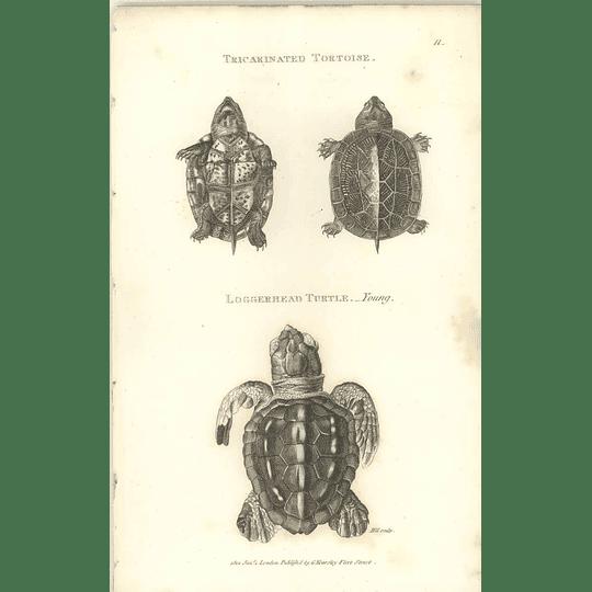 1802 Tricarinated Tortoise And Loggerhead Turtle Shaw Amphibia Print