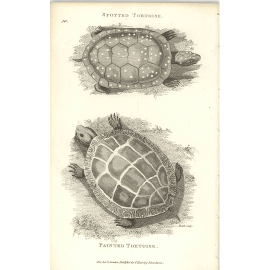 1802 Spotted Tortoise And Painted Tortoise Shaw Amphibia Print