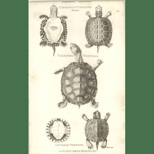 1802 Cinereous Tortoise Galeated Tortoise And Lettered Tortoise Shaw Amphibia Print