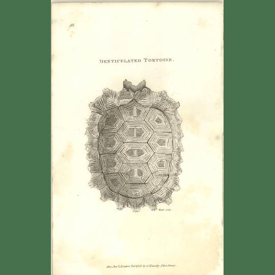 1802 Denticulated Tortoise Shaw Amphibia Print