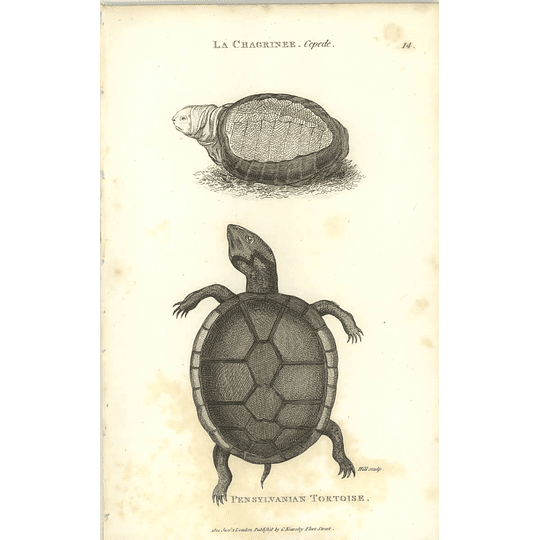 1802 Pennsylvanian Tortoise And La Chagrinee Shaw Amphibia Print