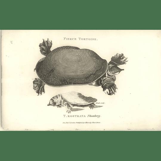 1802 Fierce Tortoise T Rostrata Shaw Amphibia Print